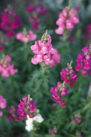 Pink snapdragon flowers grow in the garden closeup