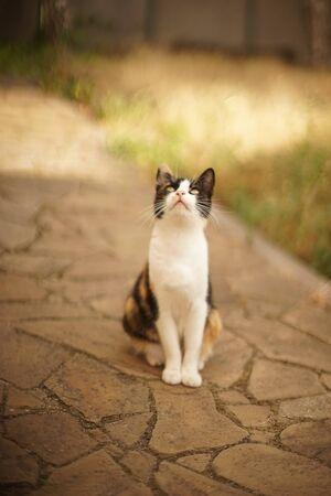 Tricolor cat sitting on the stone floor in summer garden, domestic animals relax outdoor, maneki neko kitty, pet look at sky