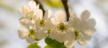 White flowers pear tree blossom in spring garden, blurred 스톡 콘텐츠