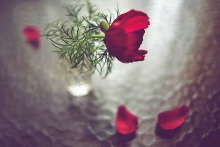 Red peony flower in a small vase, glass table with two showered petals