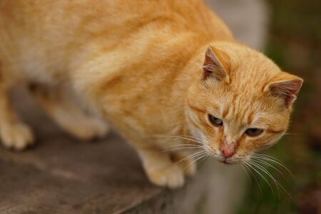 Portrait of a red cat on the street, attentive look
