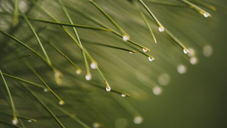 Water drops on the pine needles ends. Nature background