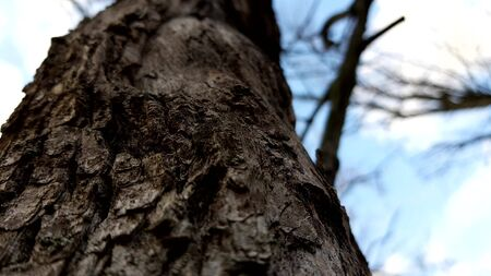 Tree bark closeup, view from below in blue sky, autumn forest with bare branches