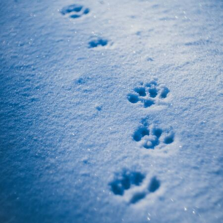 Paws prints in snow with blue shadows closeup