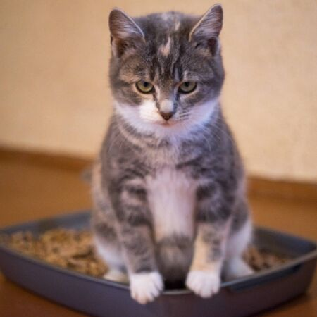 Kitten in toilet tray box with absorbent litter, side view Archivio Fotografico