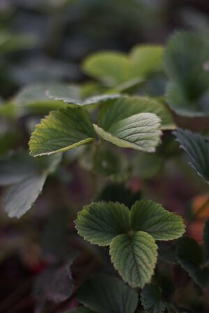 Strawberry bush with beautiful green leaves in the garden Stock Photo