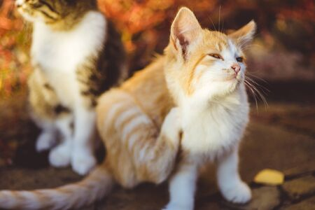 Lovely ginger kitten paw scratches behind the ear, outdoor portrait, fleas and ticks in domestic animals