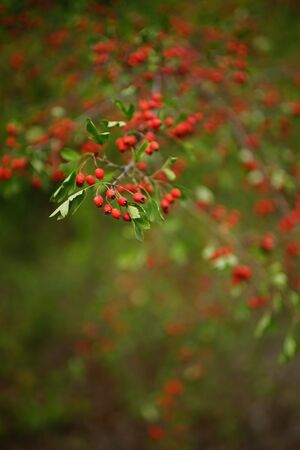 Closeup branches with red berries and green leaves of hawthorn Imagens
