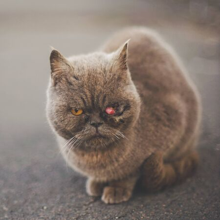 Homeless sick british cat sitting on the road. Prolapse of the third century, prolapse of the lacrimal gland