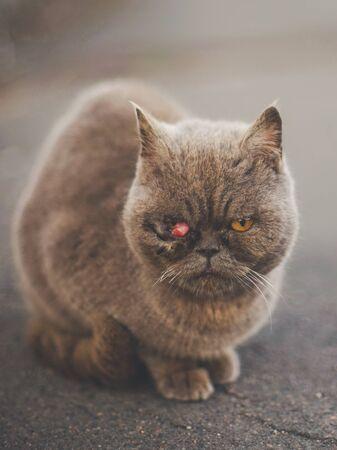 Un chat britannique malade est assis sur la route. Prolapsus du IIIe siècle ou glande lacrymale