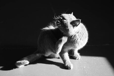 Cat paw scratches behind the ear. Pet portrait. Fleas and ticks in domestic animals. BW photo