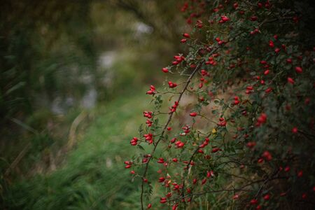 Rosehip bush with red berries grow on the river shore, closeup view