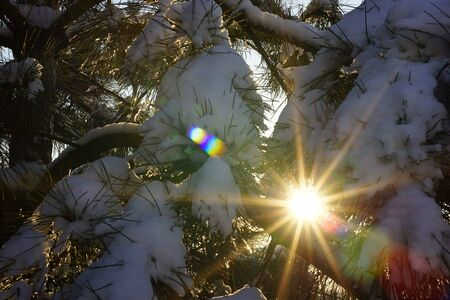 Sun with rays in snowy pine branches. Winter forest