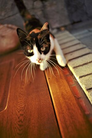 Tricolor cat on the doorstep wants to enter the house. Maneki neko kitty portrait with paws on the door. Standard-Bild