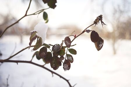 dry leaves on a branch of a rose flower against a snowy garden background