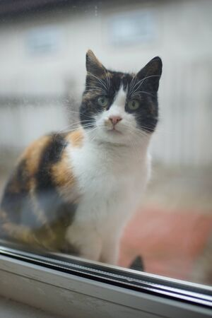 Tricolor cat look through the window into the house. Cute kitty closeup portrait on the windowsill.