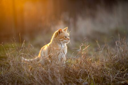 Lovely ginger cat walk in the meadow with dry grass at sunset. 免版税图像
