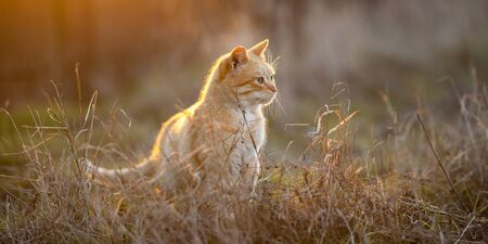 Lovely ginger cat walk in the dry grass at sunset.