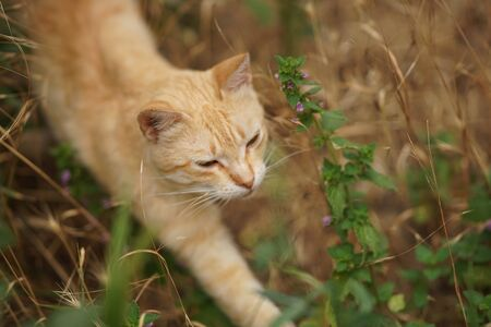 Ginger tabby cat walk in grass with fluffy wild flowers