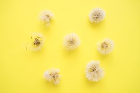 Fluffy dandelions on yellow paper. Top view.