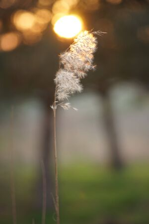Fluffy eed grass in natural blurred background at sunset.