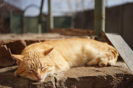 Cute ginger cat sleep outdoor in summer sunny gaden.