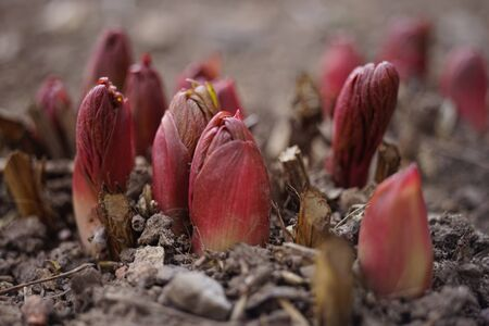 Young red sprouts of peony flowers grow in the ground. Closeup flower buds in soil
