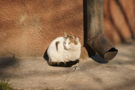 White cat sitting in the yard near the drainpipe
