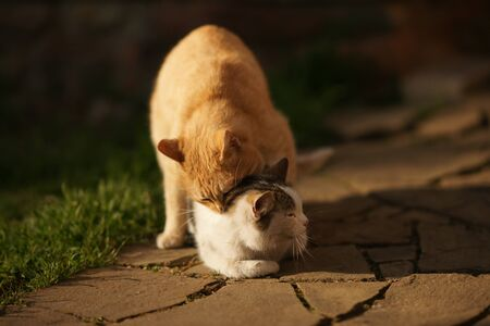 Domestic cats in the act of mating. Cat make love outdoor