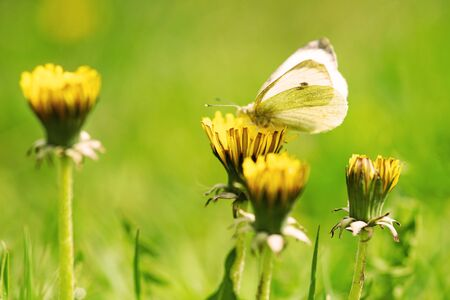 white butterfly on yellow dandelion flower in a summer garden, closeup, side view. Stock Photo