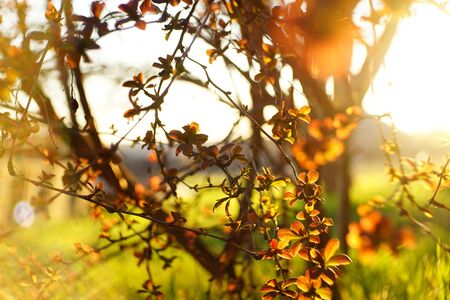 Barberry bush with small red leaves grows in a spring garden