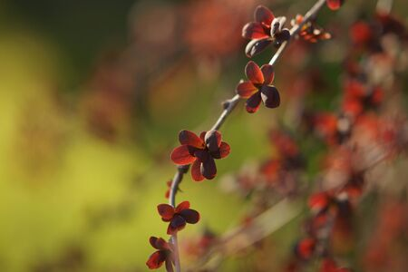 Barberry bush branch with small red leaves grows in a spring garden