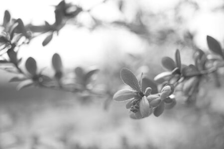 Barberry bush with small leaves grows in a spring garden, bw photo