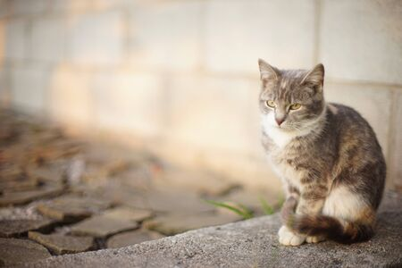 Tricolor ash cat sitting on the stone floor outdoors. Stockfoto