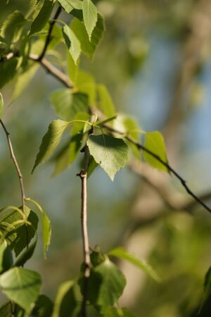 Young birch tree leaves on the branches closeup.
