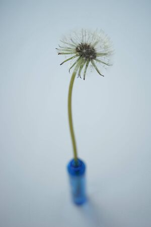 Fluffy dandelion flower in a small blue vase on the white table. Art card.