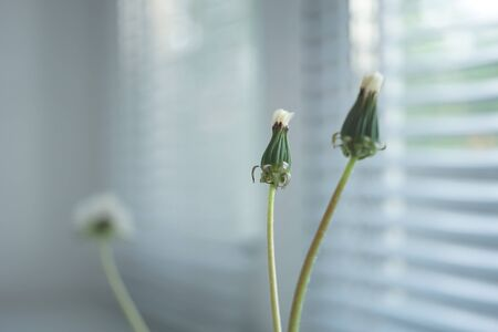 Two closed dandelion flowers in a small vase on the windowsill, jalousie in blurred background.