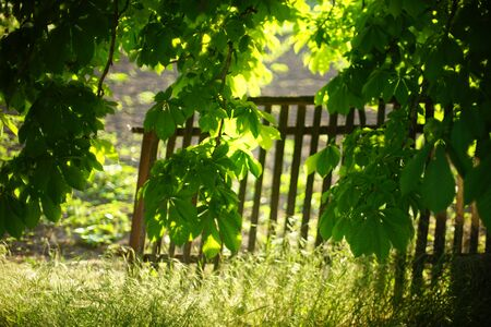 Chestnut branches with lush green leaves in a rural garden on a background of a wooden picket fence