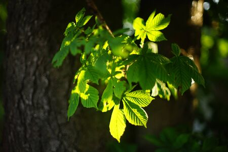 Chestnut tree branch with lush green leaves lit by the sun Imagens