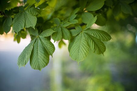 Chestnut tree branch with lush green leaves