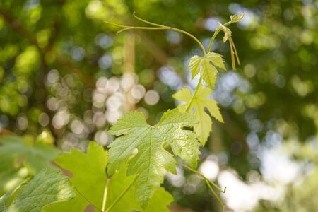 Lovely green grape leaves grow in the summer garden