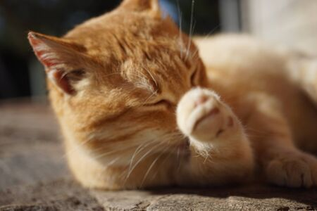 A blurred ginger cat washes his paw in a sunny garden. Cats hygiene.