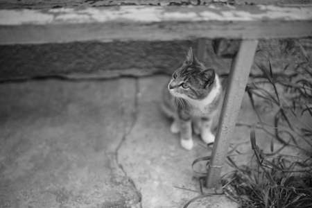 Curious cat under old wooden bench. Black and white photo