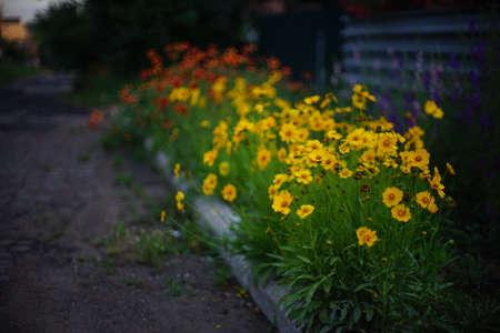 Coreopsis yellow flowers grow in the evening garden, art bokeh.