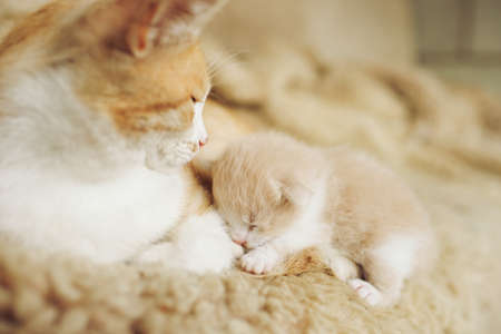 Newborn beige kitten lies with ginger cat on the bed.