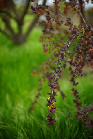 Barberry branches with small purple leaves in a spring garden