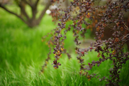 Barberry branches with small purple leaves in the garden