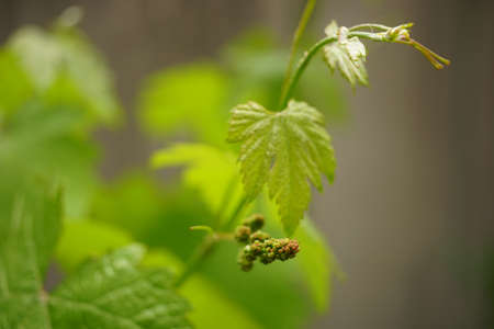 Young green grape with leaves grow in the garden. 写真素材