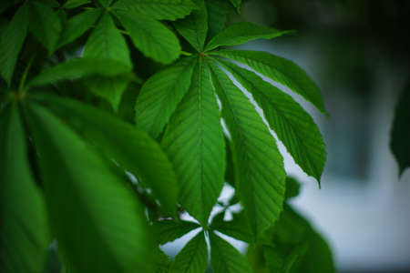 Chestnut tree branch with lush green leaves closeup