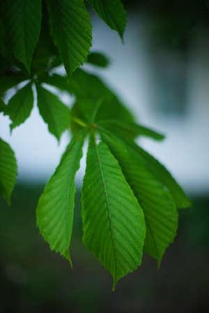 Chestnut tree branch with green leaves closeup 版權商用圖片